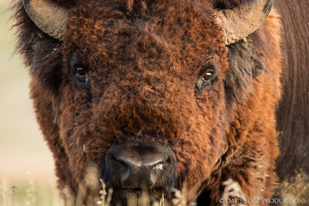 A massive male Bison or American Buffalo ( Bison bison ) stares down the photographer in Badlands National Park, South Dakota.