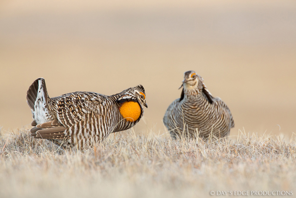 Two male Greater Prairie Chicken ( Tympanuchus cupido ) square off in a territorial conflict on a display ground, or lek, in the Nebraska sandhills.