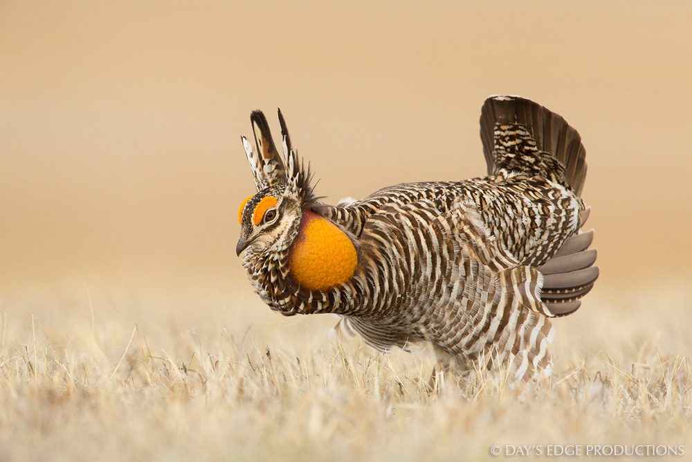 A male Greater Prairie Chicken ( Tympanuchus cupido ) performs his courtship display on a display ground, or lek, in the Nebraska sandhills.