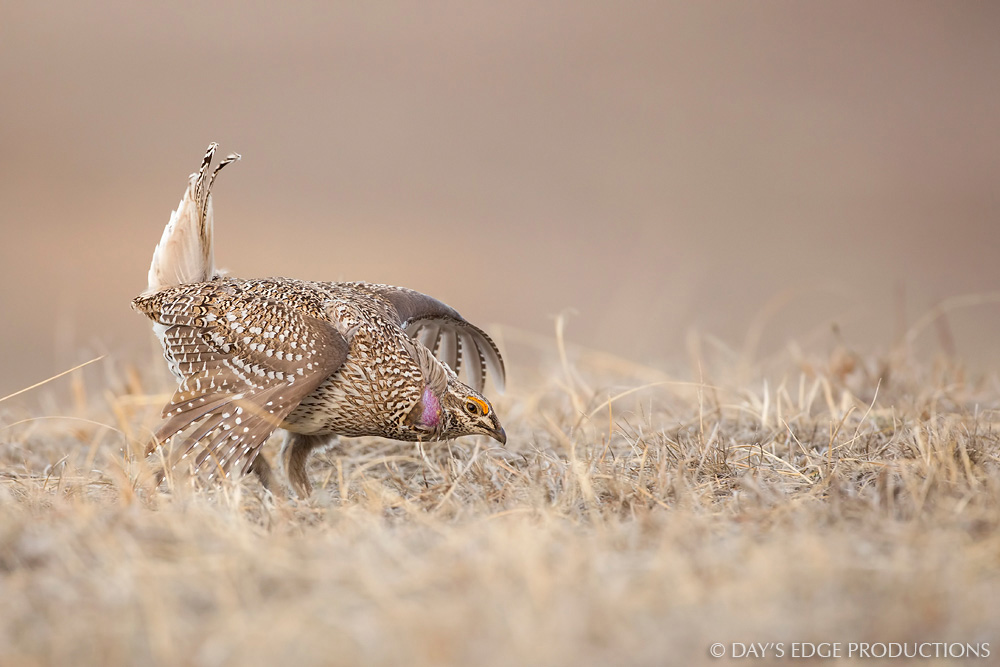 A male Sharp-tailed Grouse ( Tympanuchus phasianellus ) performs its courtship display on a display ground, or lek, in the Nebraska sandhills.