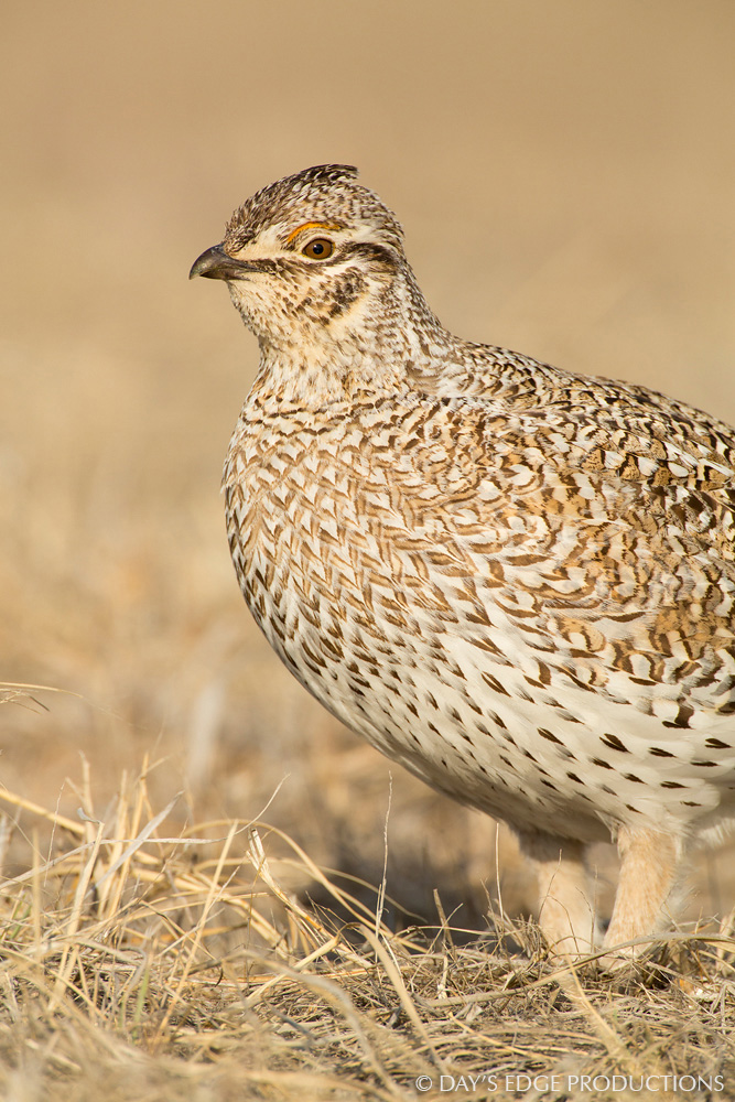 A male Sharp-tailed Grouse ( Tympanuchus phasianellus ) on a display ground, or lek, in the Nebraska sandhills.