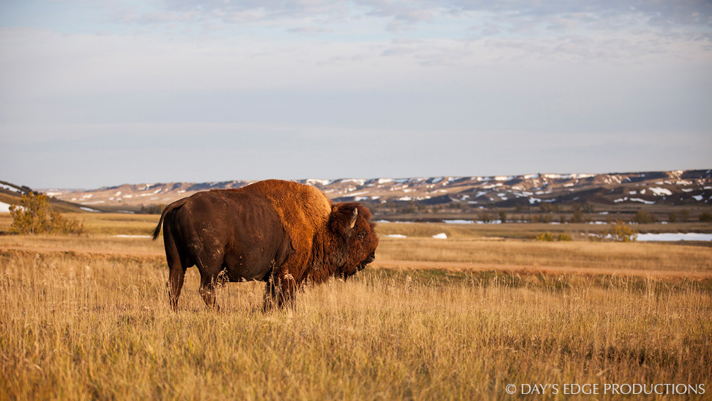 A male Bison or American Buffalo ( Bison bison ) enjoys the morning sun on a cold morning in Badlands National Park, South Dakota.