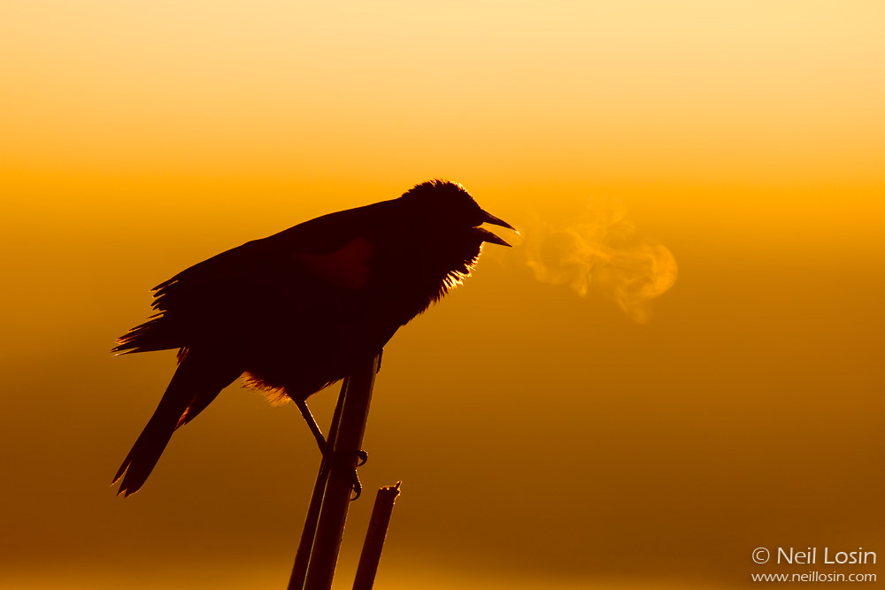 A male Red-winged Blackbird ( Agelaius phoeniceus ) sings at sunrise, its breath condensing in the cold morning air. Photographed in Davis, California.