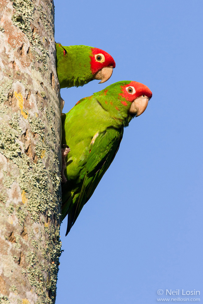 A Red-masked Parakeet ( Aratinga erythrogenys ), an invasive species from South America, peers from a nest cavity in Miami, Florida.