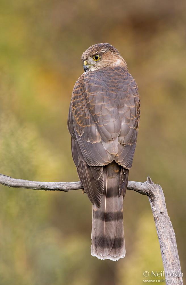 A Sharp-shinned Hawk ( Accipiter striatus ) in the southern California chaparral.