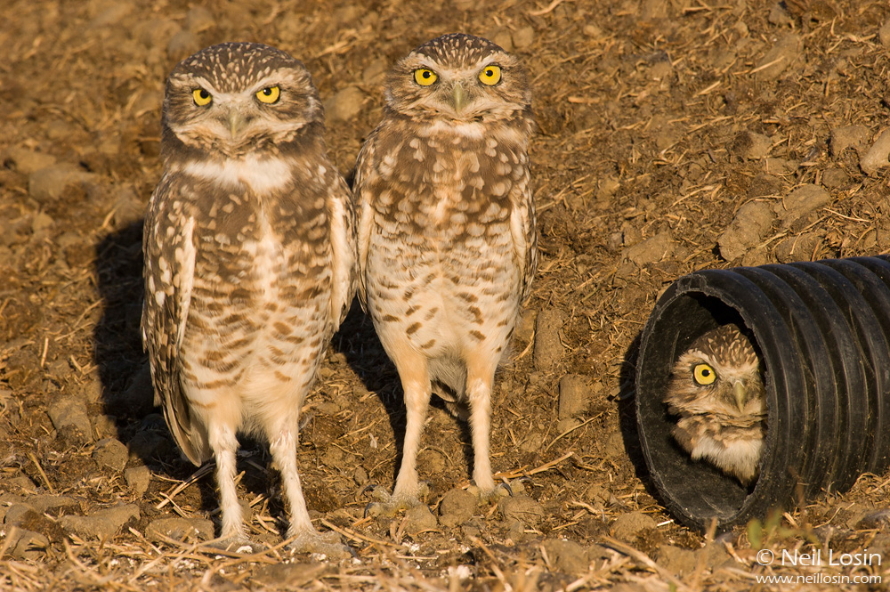 Three adult burrowing owls ( Athene cunicularia ) at an artificial burrow entrance at Wildhorse Golf Course in Davis, California.