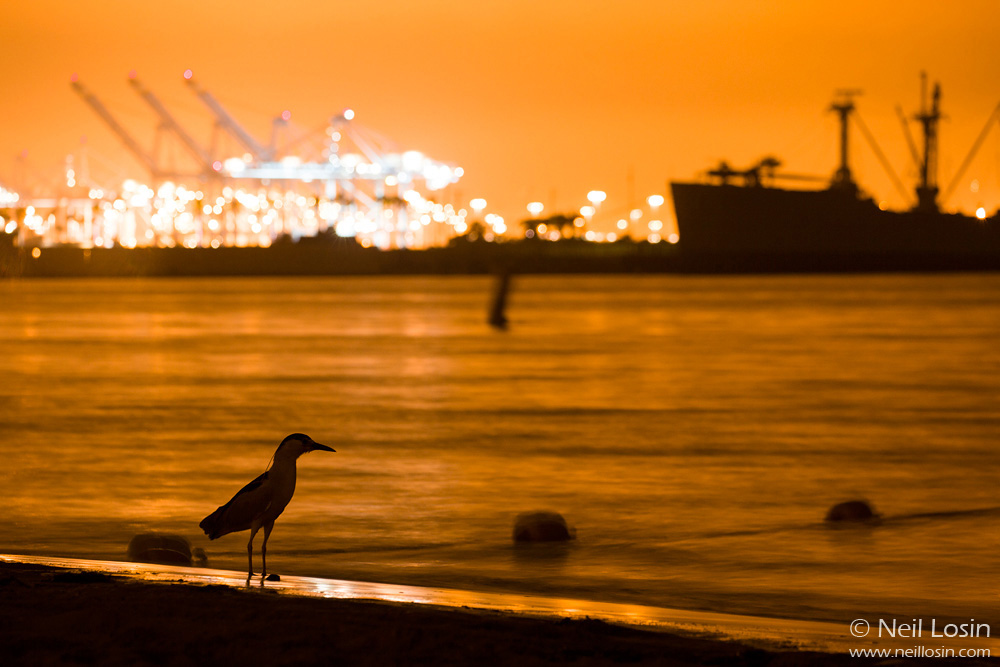 A Black-crowned Night Heron ( Nycticorax nycticorax ) waits for spawning grunion on a beach near Los Angeles, California.
