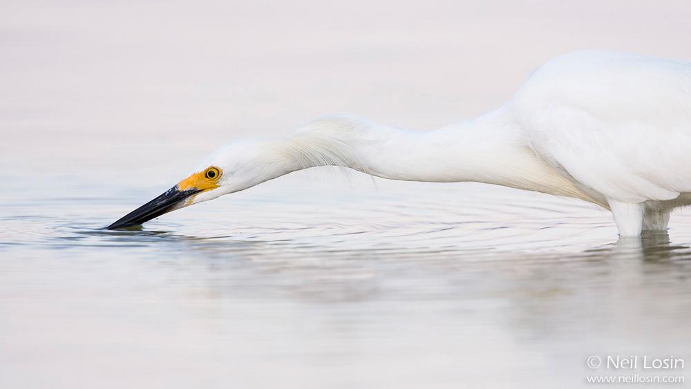 "A Snowy Egret ( Egretta thula ) in a southern California coastal wetland, performing a unique ""bill-vibrating"" behavior to attract small fish to the water's surface. Malibu, California."