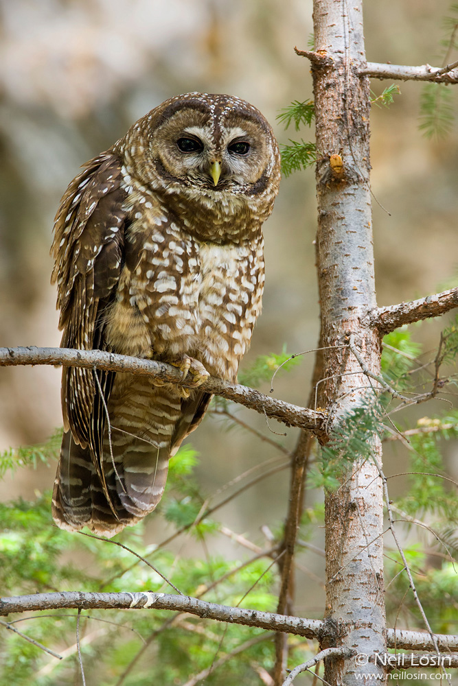 A Spotted Owl ( Strix occidentalis ) in Los Angeles County, California.