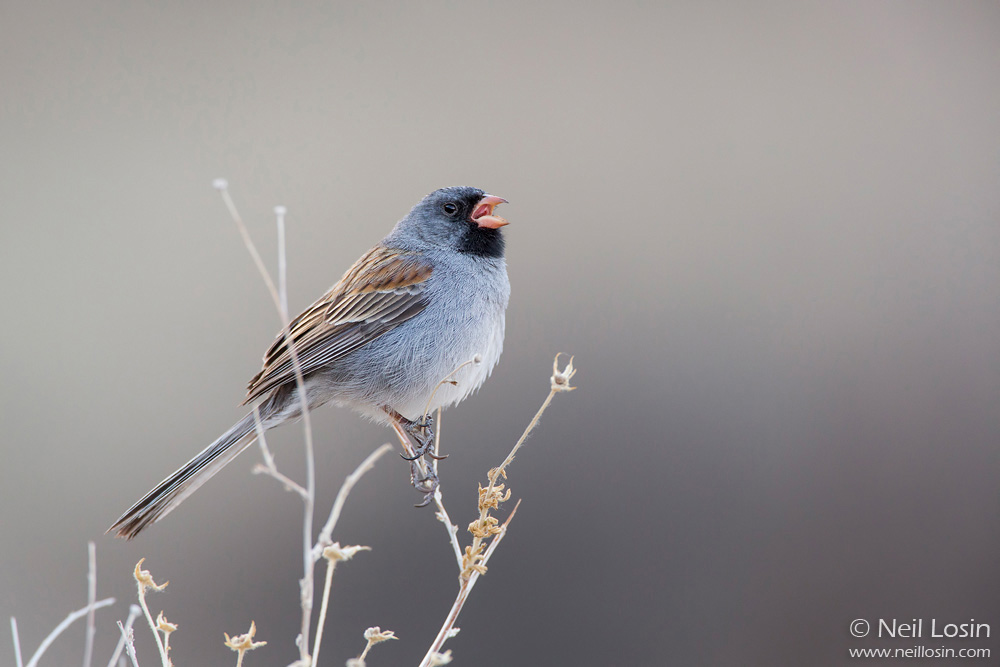 A Black-chinned Sparrow ( Spizella atrogularis ) sings in Embudito Canyon just outside of Albuquerque, New Mexico.