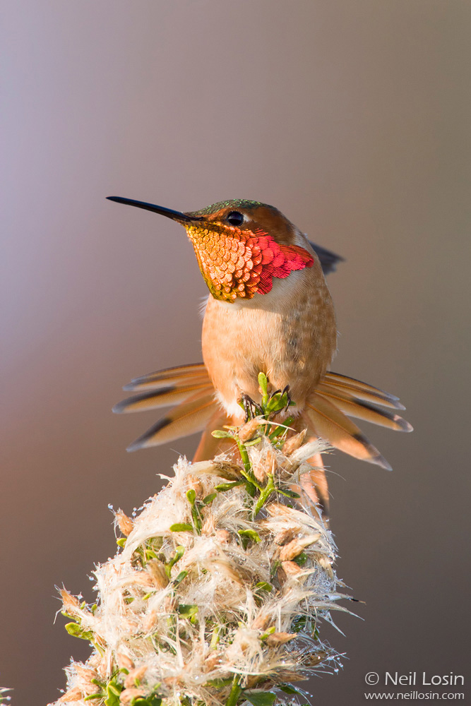 A male Allen's hummingbird ( Selasphorus sasin ) stretches and displays its colorful gorget on native Coyote Brush in southern California.