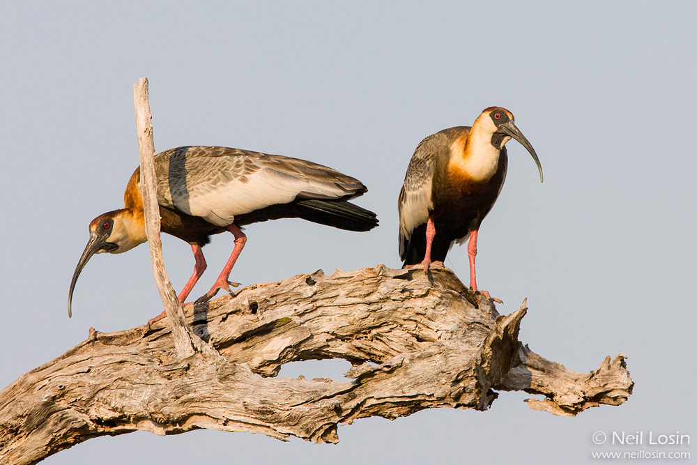 Two Buff-necked Ibis ( Theristicus caudatus ) perched on a gnarled snag in Brazil's Pantanal.
