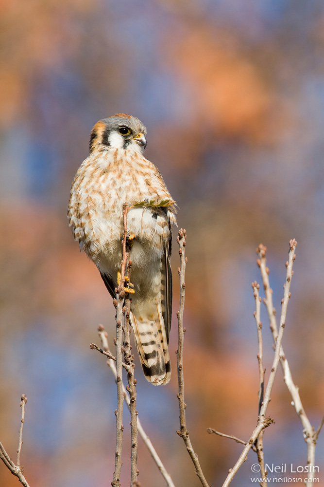 A female American Kestrel ( Falco sparverius ) with a background of fall sycamore leaves in southern California.