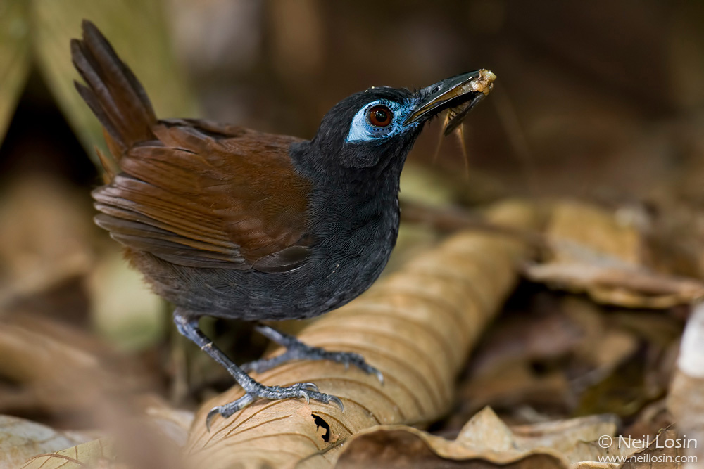A Chestnut-backed Antbird ( Myrmeciza exsul ) brings insects back to its nest in the Costa Rican rainforest.
