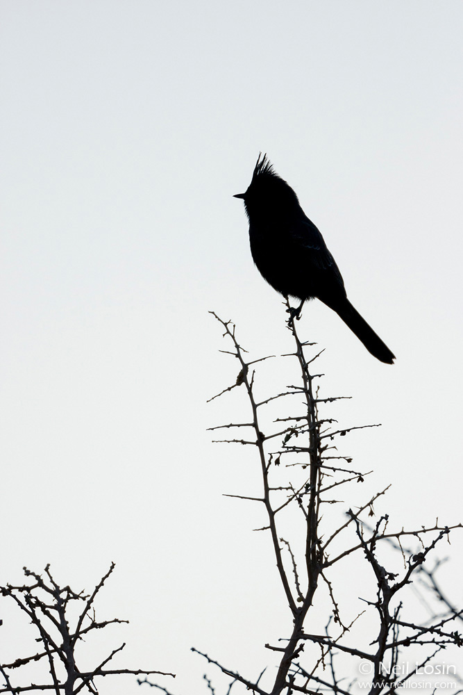 A Phainopepla ( Phainopepla nitens ) in silhouette in the southern California desert.
