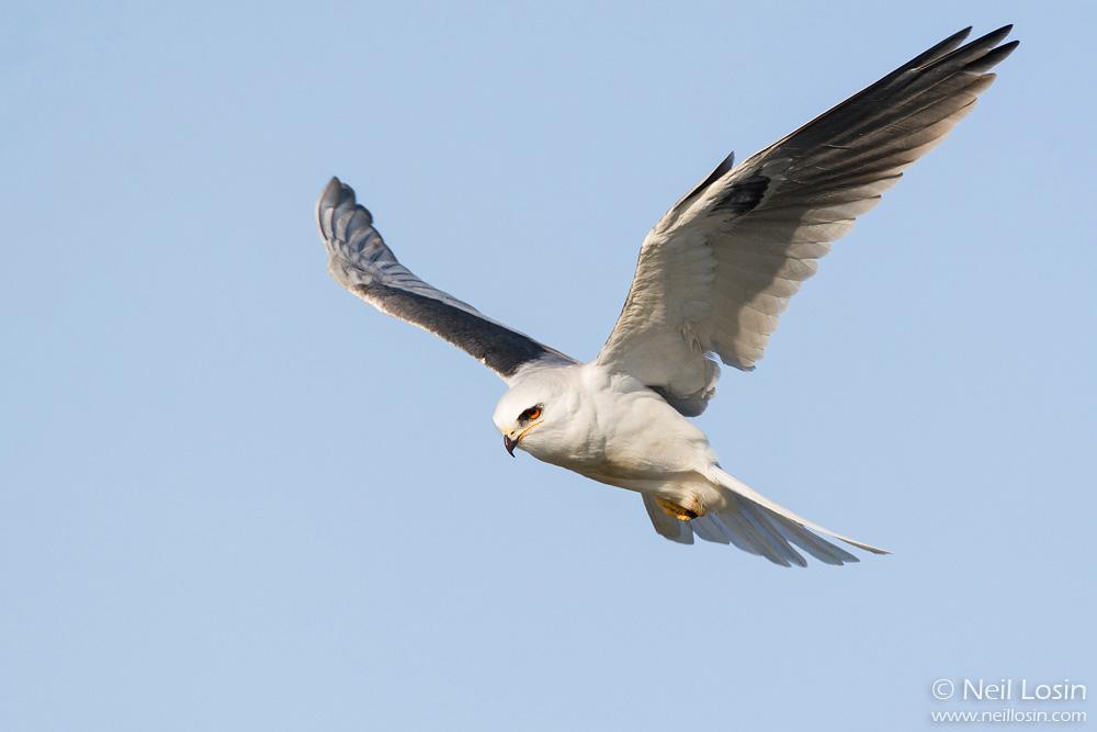 A White-tailed Kite ( Elanus leucurus ) hovers above the southern California coast.