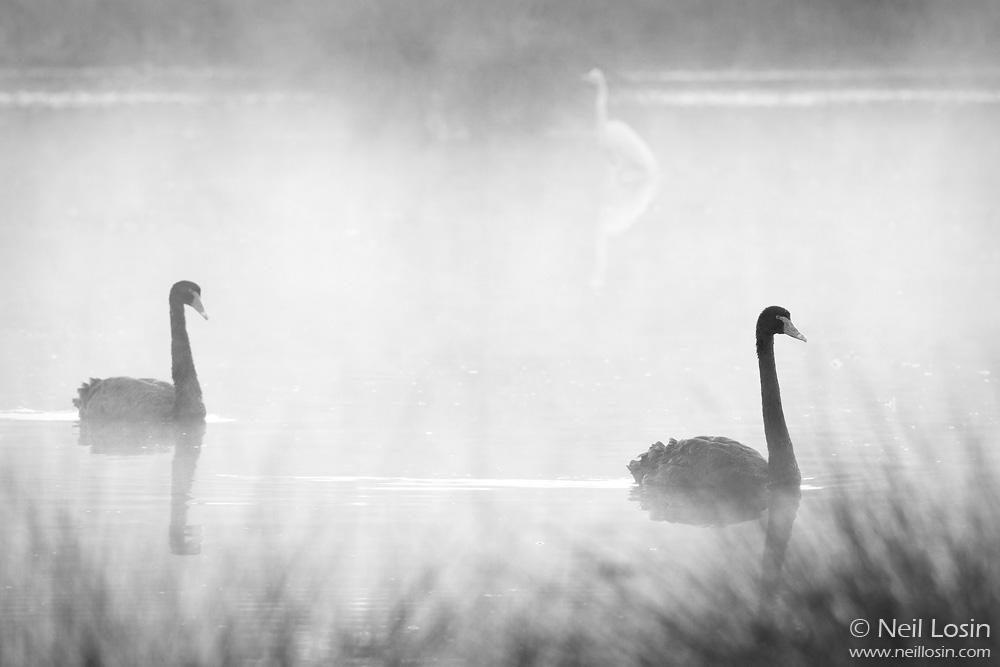 A pair of Black Swans ( Cygnus atratus ) swims in a wetland at Canning River Regional Park, Perth, Western Australia.