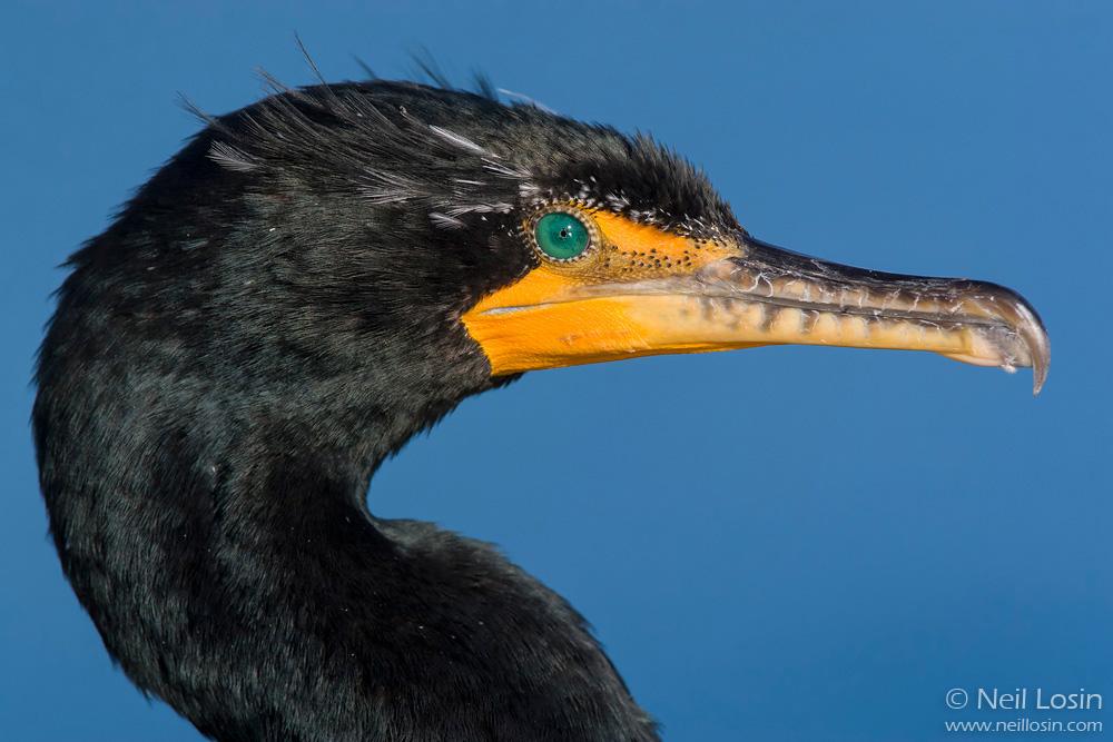 Closeup of a breeding-plumage Double-crested Cormorant ( Phalacrocorax auritus ) on the southern California coast.