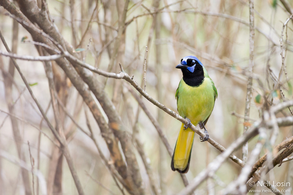 A Green Jay ( Cyanocorax yncas ) provides a splash of color in an otherwise muted scene in southern Texas.