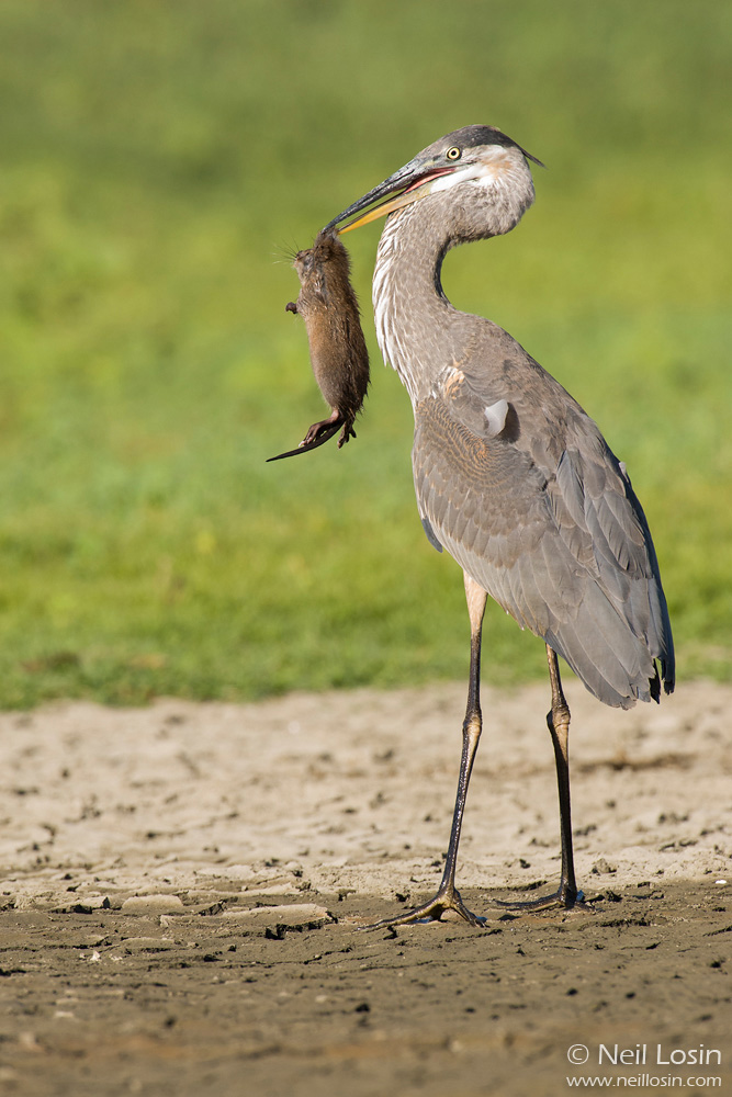 A Great Blue Heron ( Ardea herodias ) poses with a Muskrat (Ondatra zibethicus) it has captured in central California.