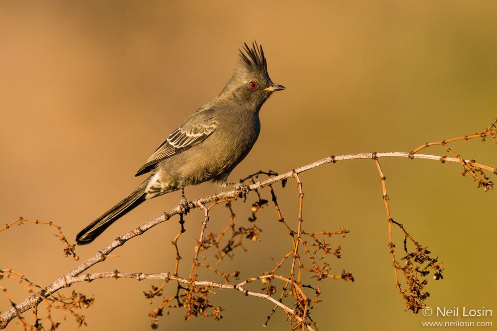 A female Phainopepla ( Phainopepla nitens ) in the southern California desert.