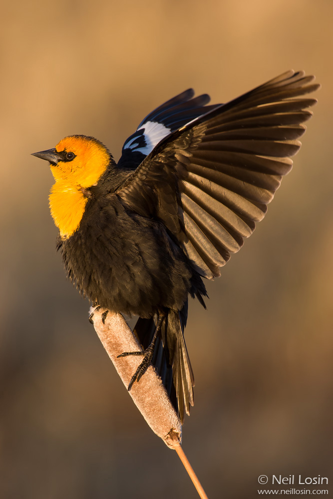 A male Yellow-headed Blackbird ( Xanthocephalus xanthocephalus ) flutters its wings overhead in a defensive display in a western Wyoming marsh.