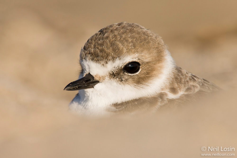 A Snowy Plover ( Charadrius alexandrinus ) rests in the sand on a southern California beach.