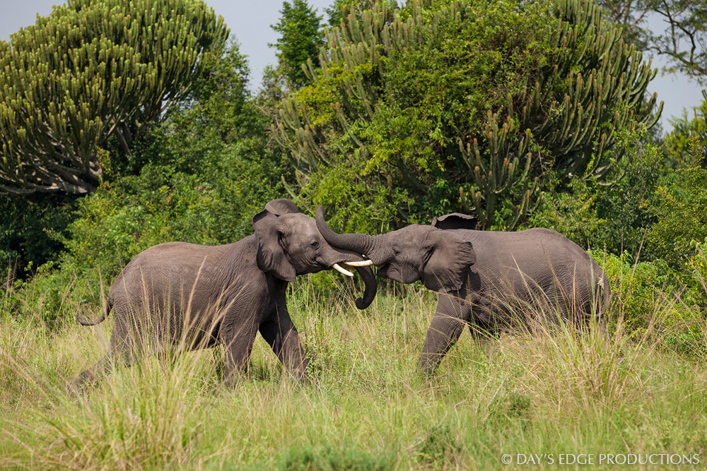 Two young bull African Bush Elephants ( Loxodonta africana ) fight over territory in Queen Elizabeth National Park, Uganda.