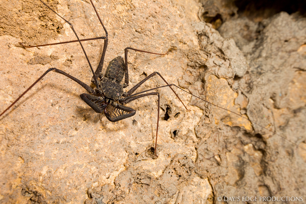 A huge tailless whipscorpion ( Phrynus longipes ) on the wall of a Puerto Rican cave.