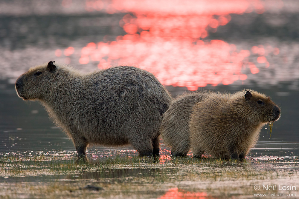 A female Capybara ( Hydrochoerus hydrochaeris ) and two young in a salt pond or salina at sunset. Photographed in Brazil's Pantanal.