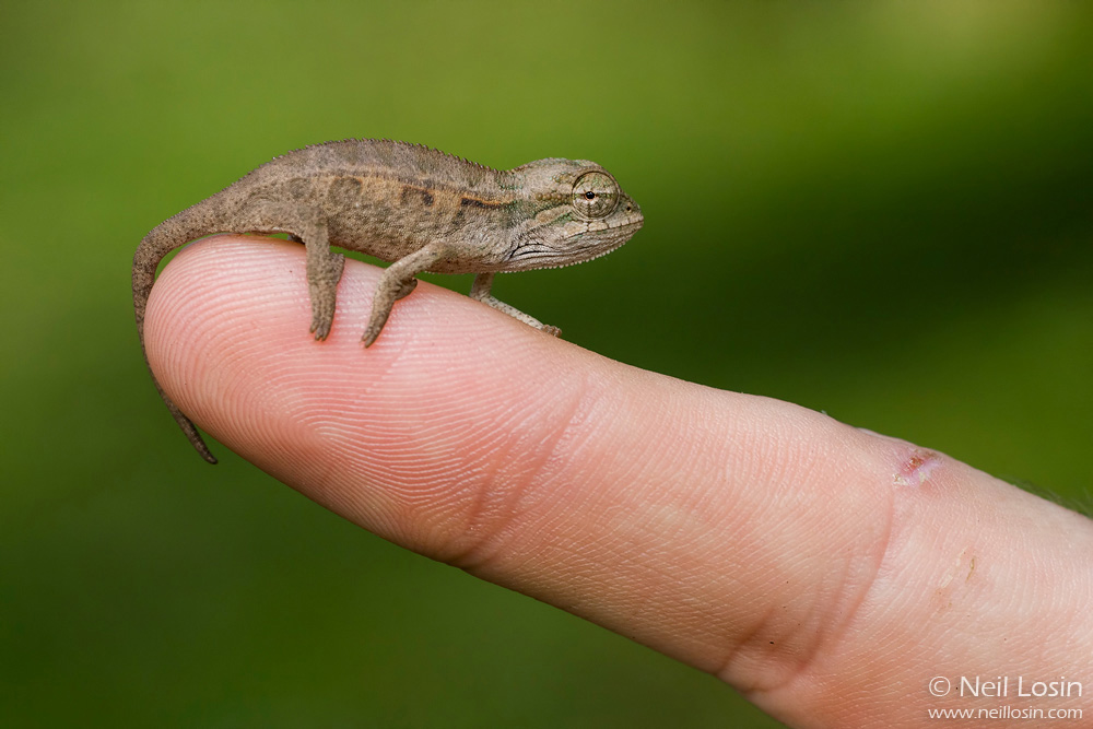 A hatchling Montane Side-Striped Chameleon ( Chameleo ellioti ) perches on a student's finger in Kibale National Park, Uganda.