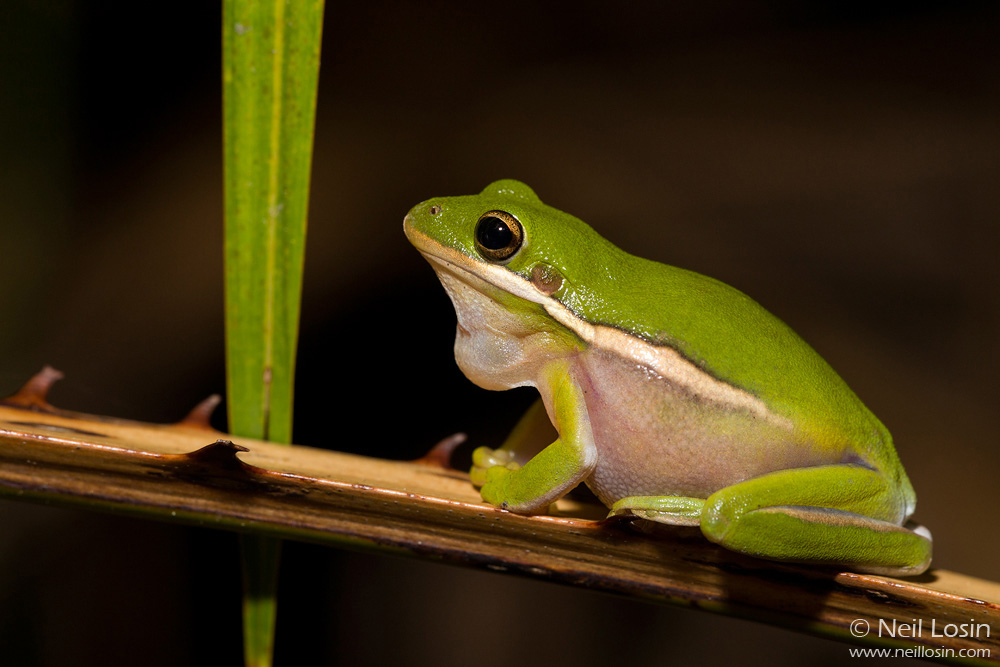 A male Green Treefrog ( Hyla cinerea ) calling in Everglades National Park, Florida.