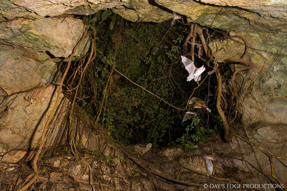 Bats fly near the entrance of la Cueva de los Culebrones, a cave in Puerto Rico noted for its concentrations of Puerto Rican Boas.