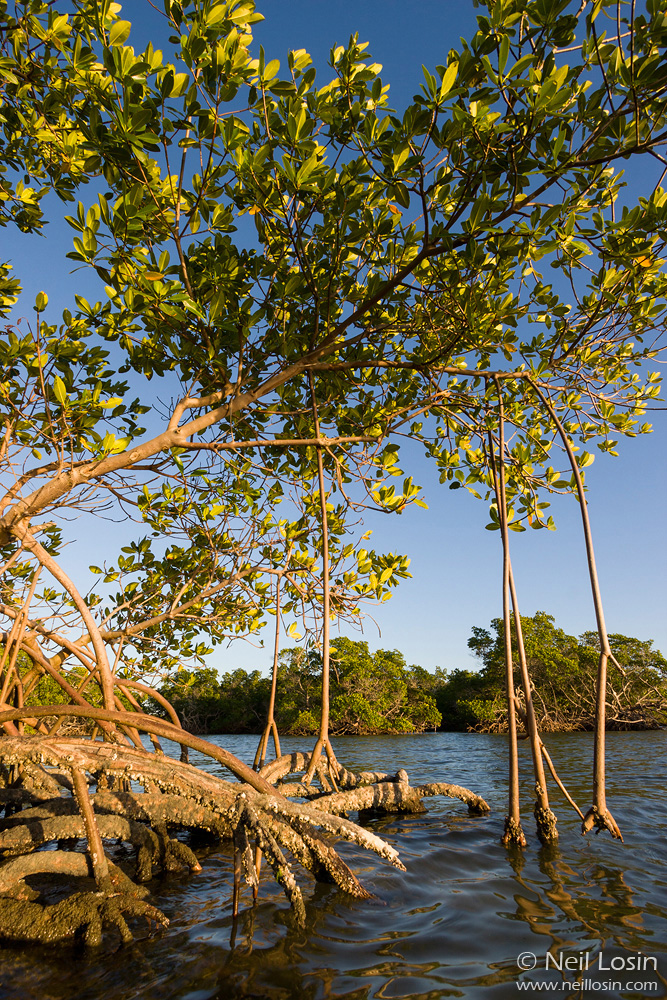 Red Mangrove ( Rhizophora mangle ) in Everglades National Park, Florida.