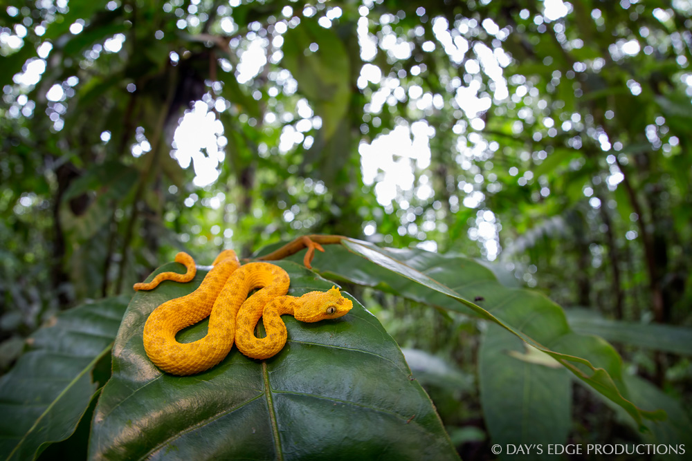 A tiny yellow-morph Eyelash Viper ( Bothriechis schlegelii ) rests on a leaf in the rainforest understory at La Selva Biological Station, Costa Rica.