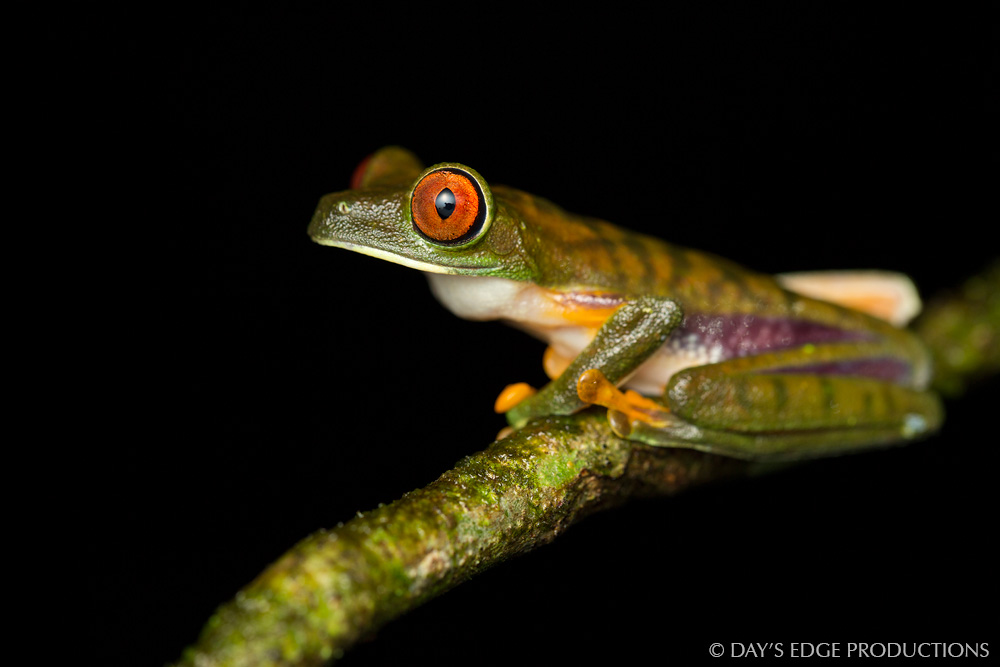 The Parachuting Red-eyed Treefrog ( Agalychnis saltator ) is a lesser-known cousin of the iconic Red-eyed Treefrog ( A. callidryas ) of Central American rainforests. Photographed at La Selva Biological Station, Costa Rica.