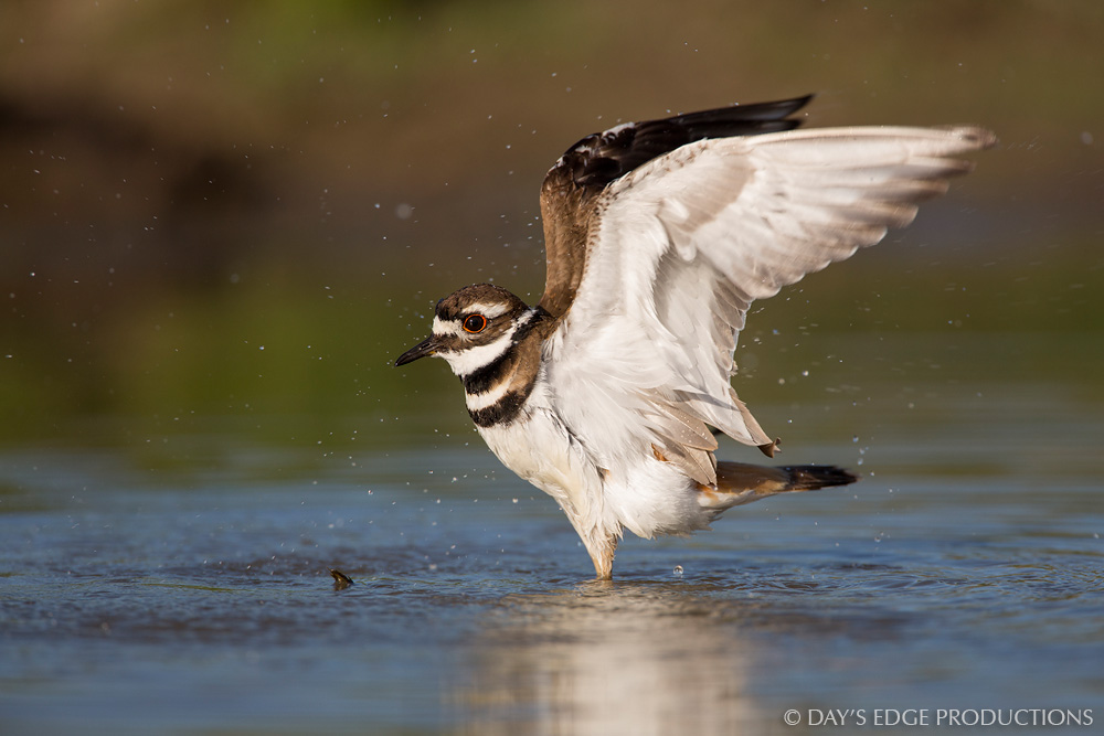 A Killdeer ( Charadrius vociferus ) shakes off its wings after bathing in a northern Montana pond.