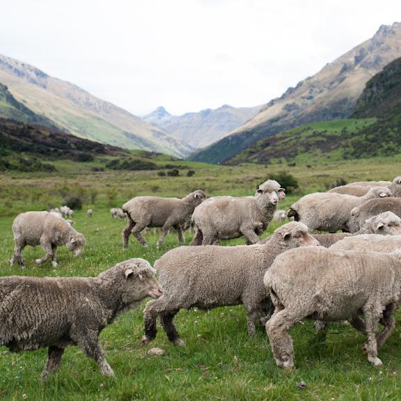 Merino sheep roam the mountainous meadows of Cecil Peak Station, New Zealand.