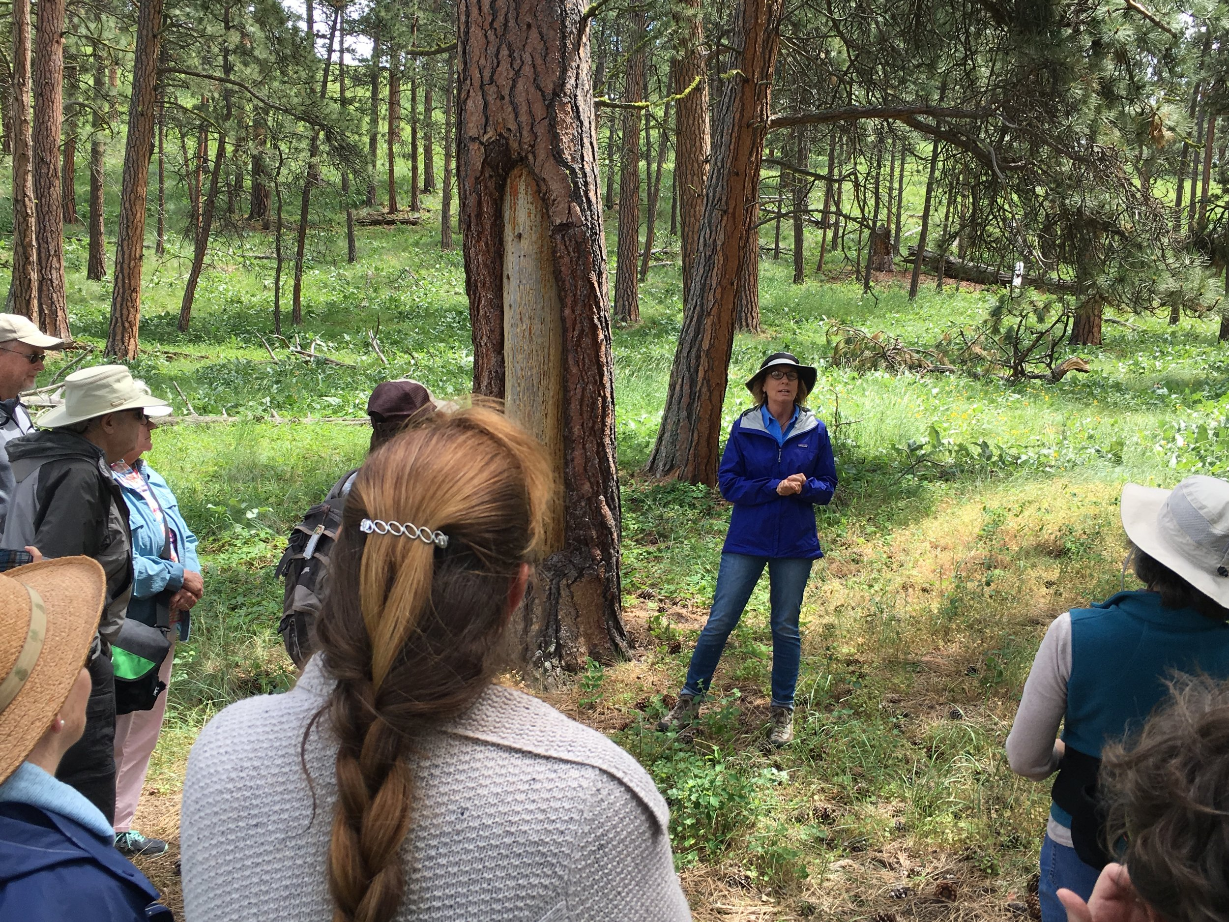 "Sara Scott, Heritage Resources Manager at MT State Parks talked about the history and significance of scarred trees on Wild Horse Island. Native Americans, Scott explained would gouge off the bark,  exposing the tree's cambium tissues. ""They were really sweet, and provided a really nice edible treat."""