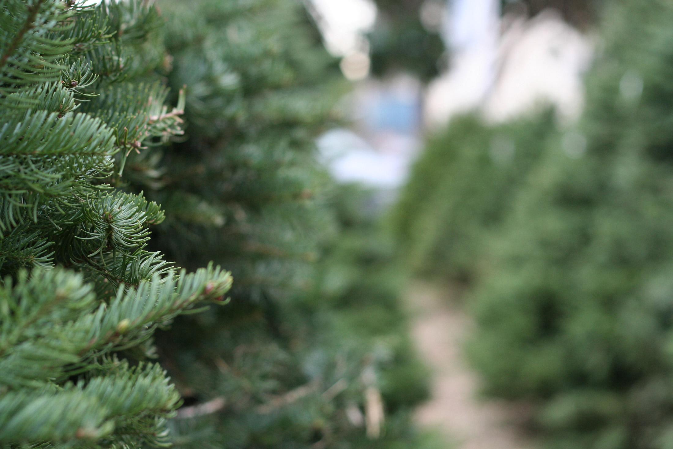 Christmas Trees Tanaka Farms
