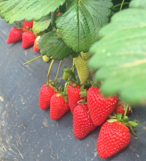Strawberries on grow bag.jpg