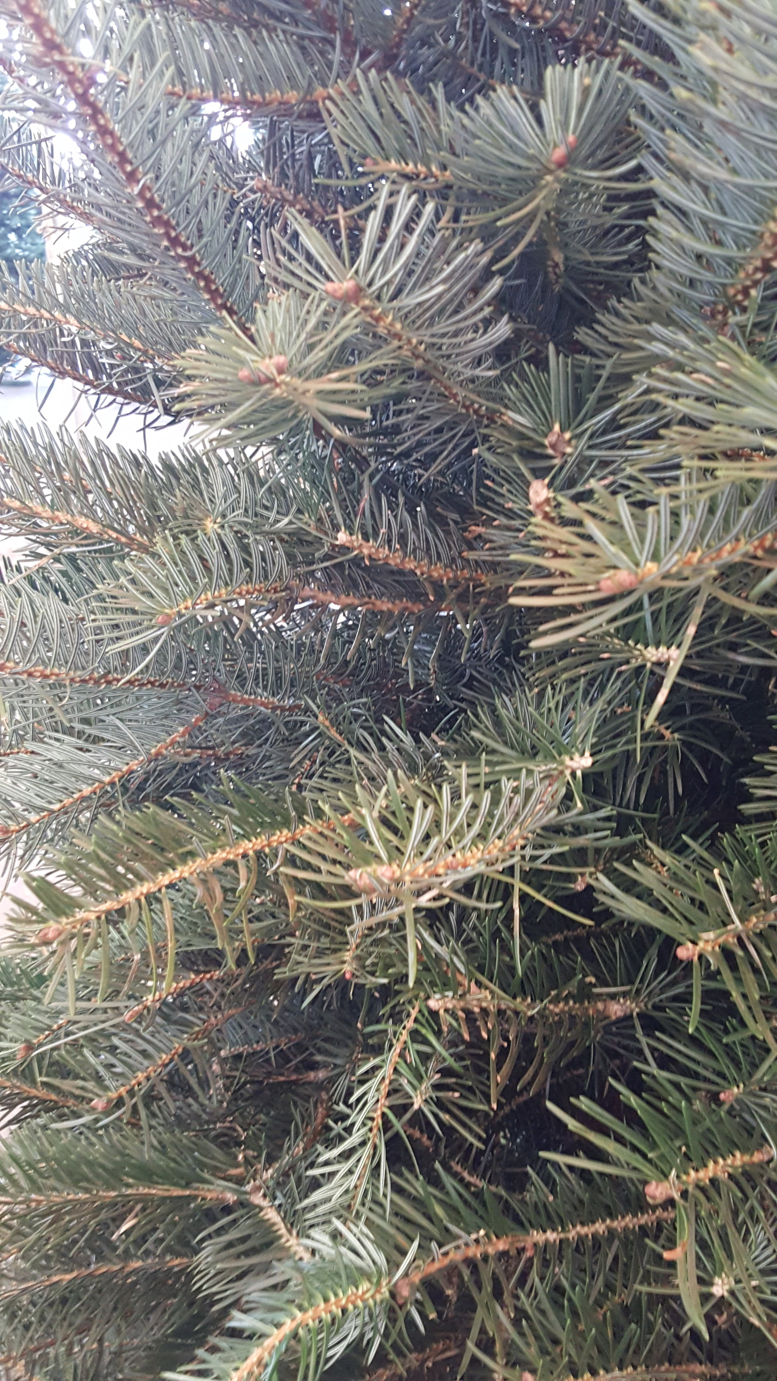 Close-Up Nordman Pine