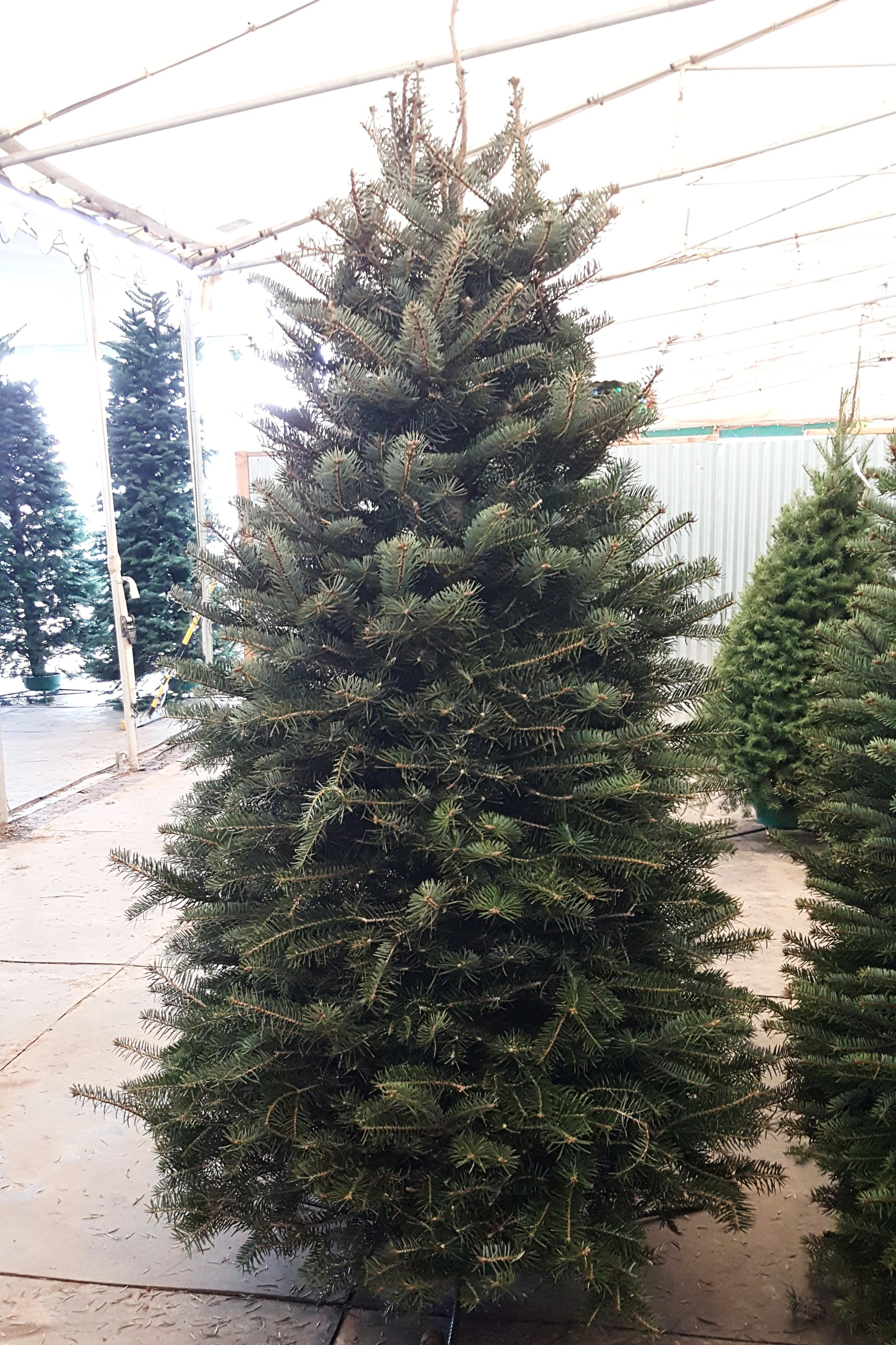 Nordman Pine