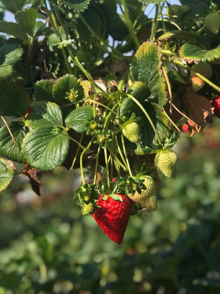 Strawberries on the vine.jpg