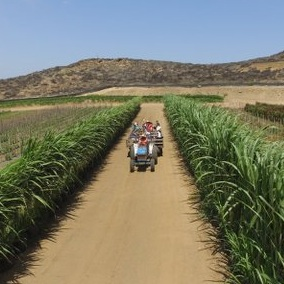 Tractor+Ride+through+the+Sugar+Cane