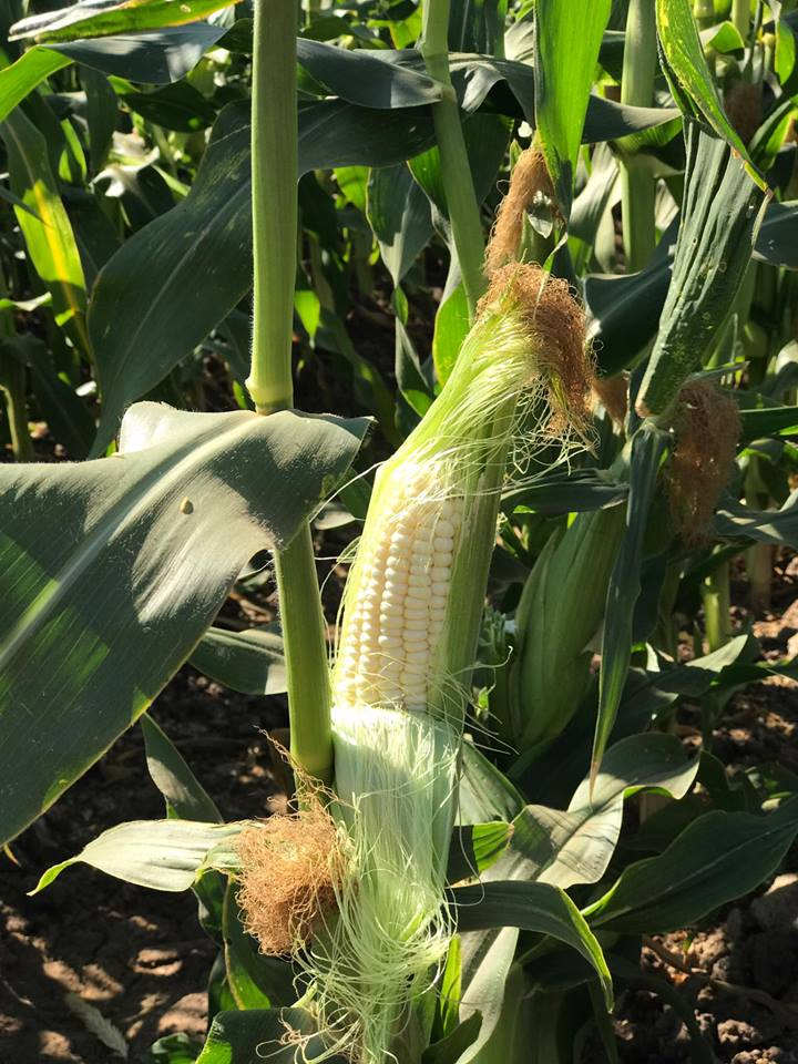 corn on stalk.jpg