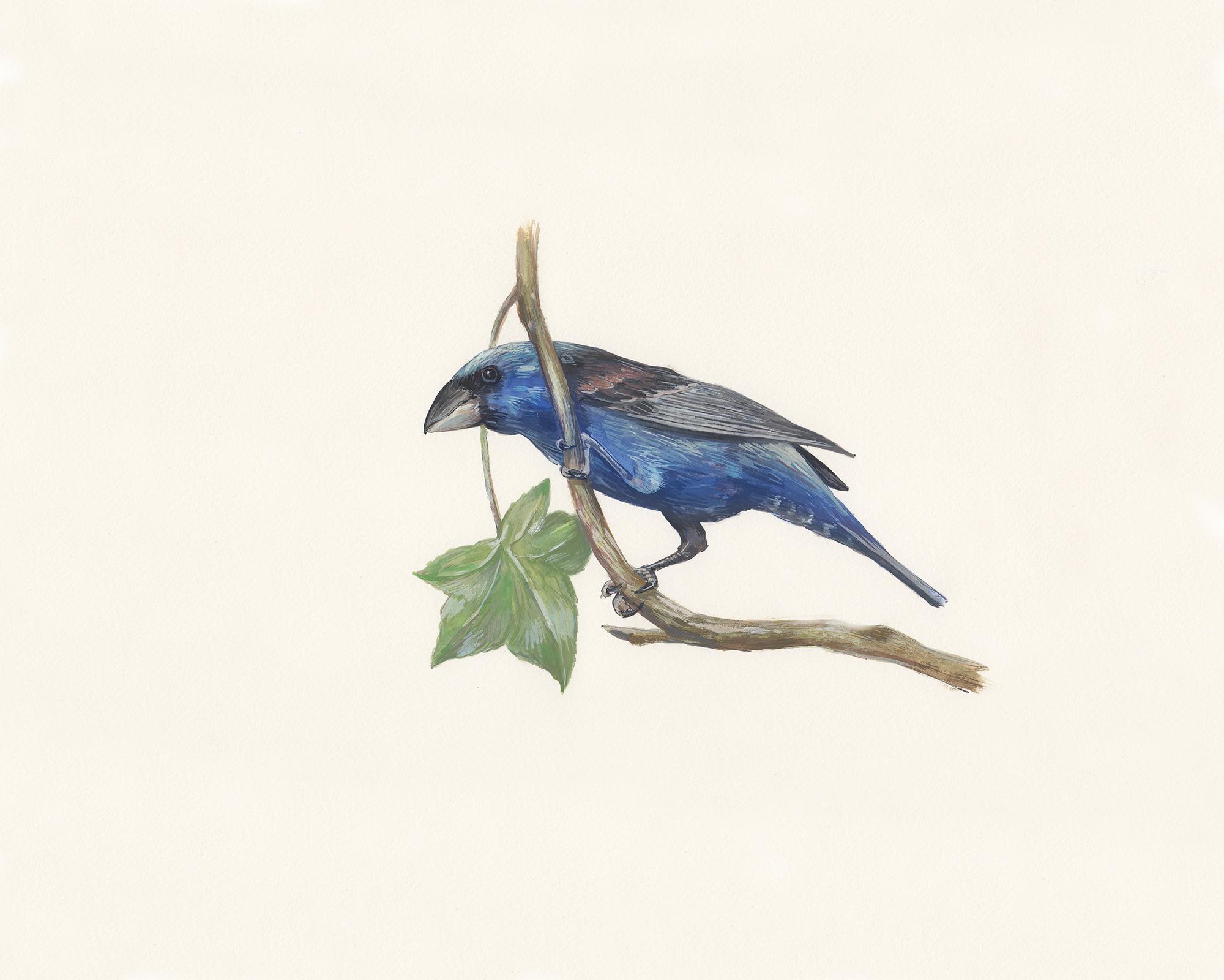 Blue grosbeak. Guache on paper.