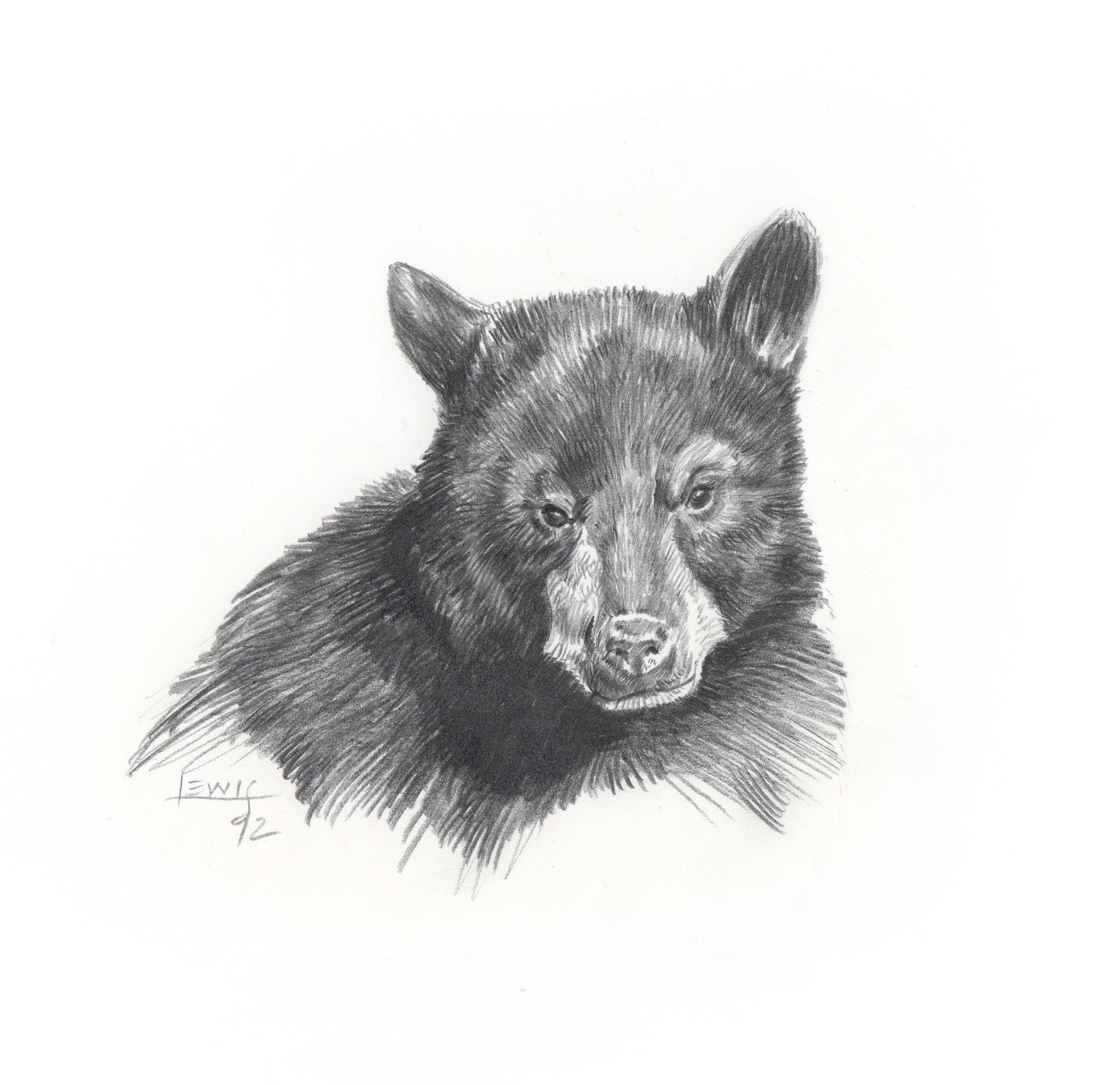 Young black bear. Pencil on paper.
