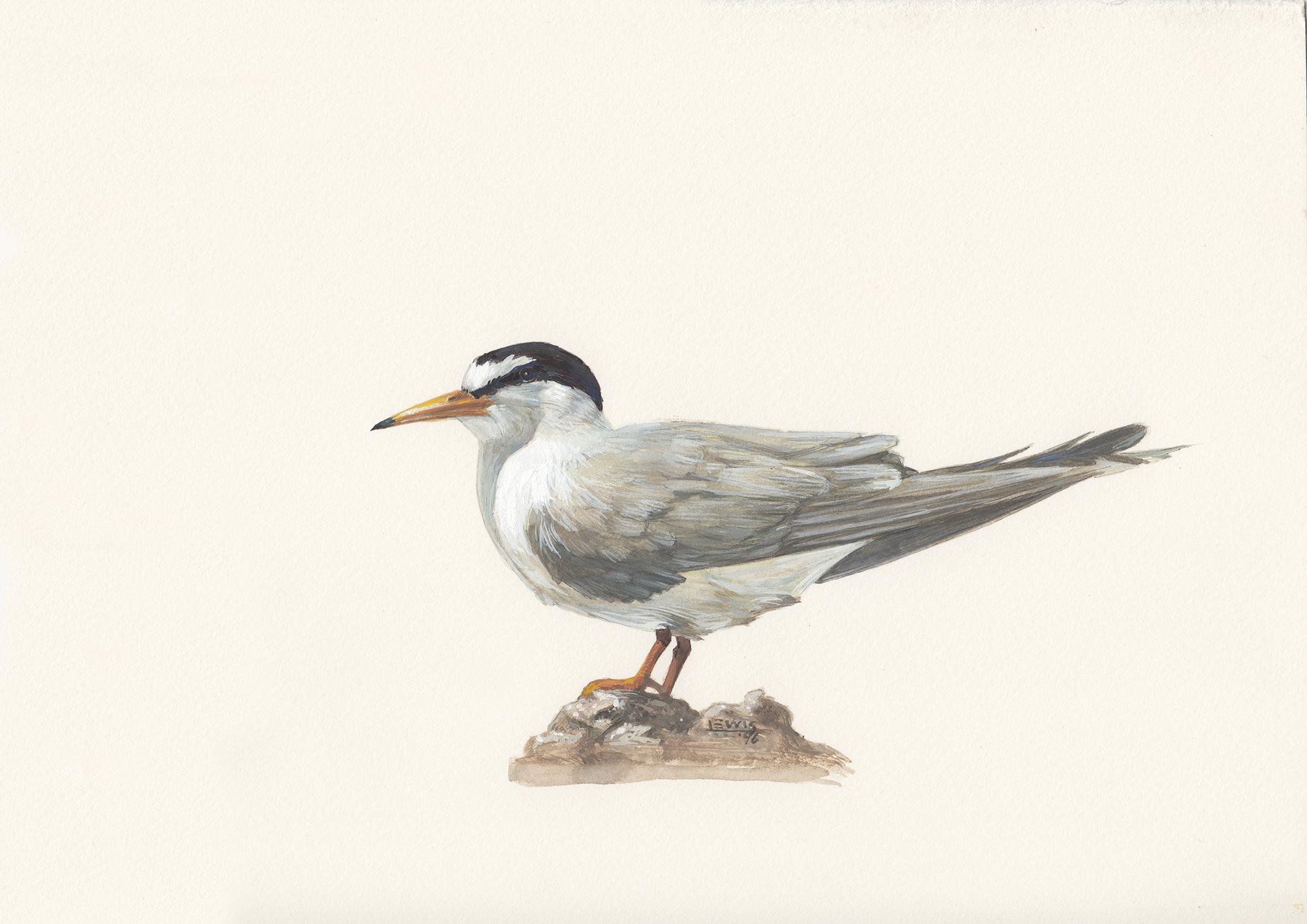 Least tern. Guache on paper.