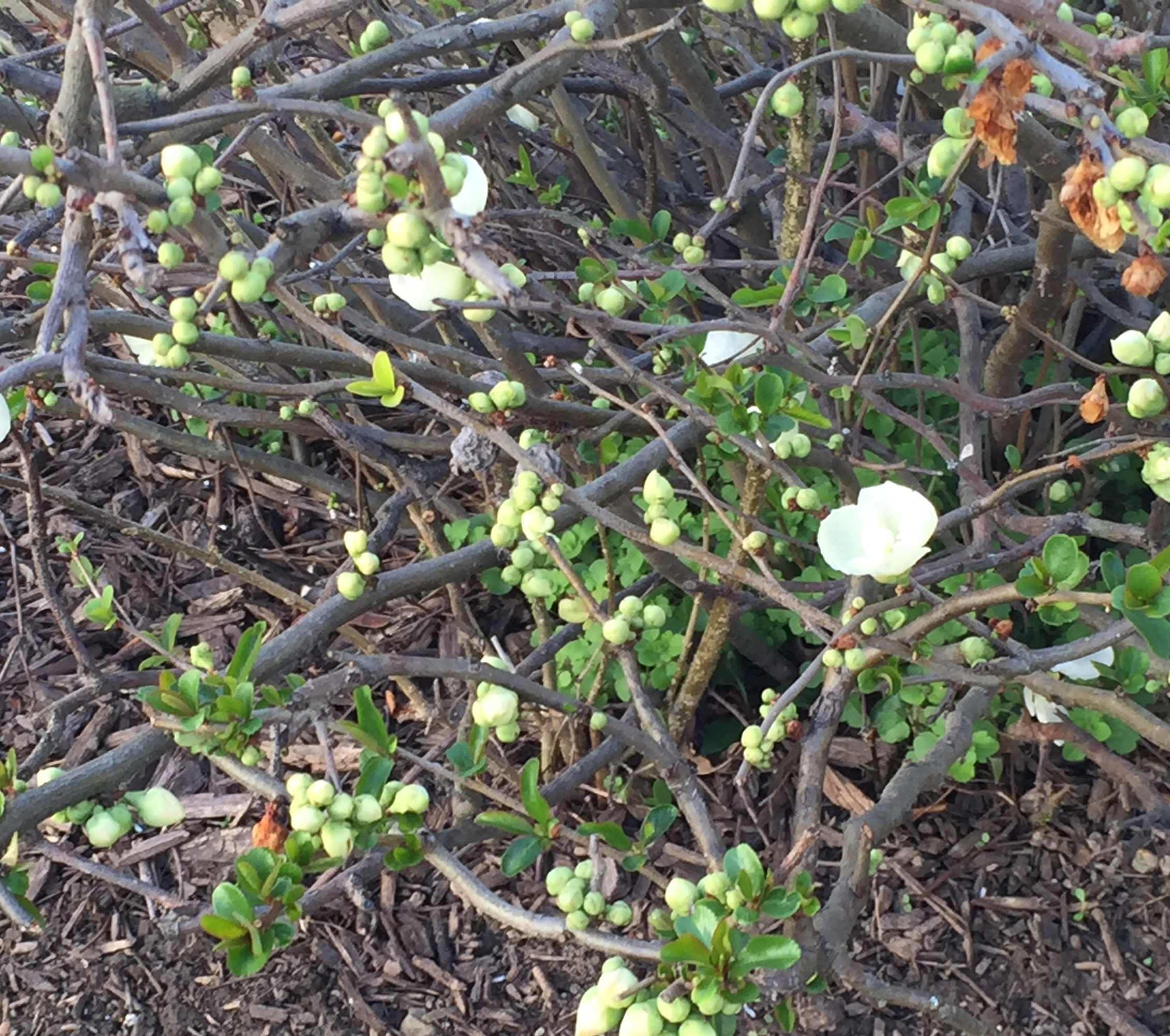 The flowering quince bush outside my parents' home. Yesterday it seemed to have one green shoot emerging. This morning there are buds and flowers!